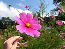 Hand, die purpurrote Blume anhält Lizenzfreie Stockfotografie