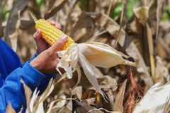 Hand, die reifen Mais auf Stiel öffnet lizenzfreie stockfotografie
