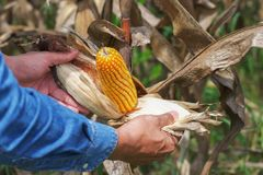 Hand, die reifen Mais auf Stiel öffnet lizenzfreies stockfoto