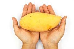 Hand die rijpe mango's, gele die mango houden op zwarte achtergrond wordt geïsoleerd royalty-vrije stock afbeeldingen