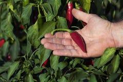 Hand die rode Spaanse peperpeper in een moestuin houden Rode Spaanse peper op hand, Spaanse peperbinnenplaats Royalty-vrije Stock Foto's