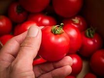Hand die rode tomaat houdt Stock Afbeelding