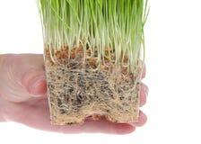 Hand, die verklemmtes Weizengras der Wurzel lokalisiert auf Weiß hält lizenzfreies stockfoto