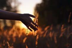 Hand, die Weizenspitzen bei Sonnenuntergang berührt lizenzfreie stockfotos