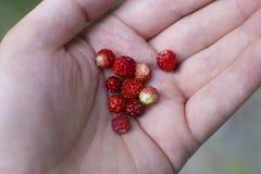 Hand die wilde aardbeien houden stock foto's