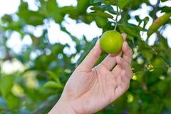 Hand, die Zitrone vom Baumast hält Stockbild