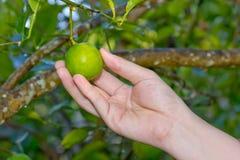 Hand, die Zitrone vom Baumast hält Lizenzfreie Stockbilder
