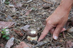 Hand discovers a brown Porcino mushroom. In the forest Stock Photo