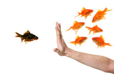 Hand discriminating black goldfish Royalty Free Stock Photos