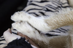 Hand and dog paw Royalty Free Stock Image