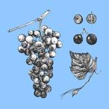 Hand-dragen illustration av druvor stock illustrationer