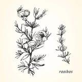 Hand-dragen illustration av Rooibos stock illustrationer