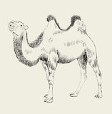 Hand dragen kamel Royaltyfria Foton