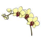 Hand dragen orkidéfilial - phalaenopsis Fotografering för Bildbyråer
