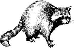 Hand dragen tvättbjörn royaltyfri illustrationer
