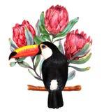 Hand-dragen vattenfärgillustration av röda proteablommor och den stora svarta tukanfågeln Royaltyfria Foton