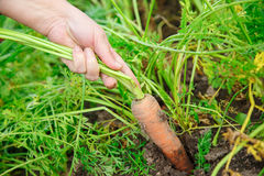 Hand dragging young carrot Stock Photo