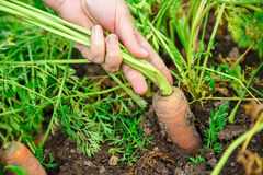 Hand dragging young carrot Stock Photography