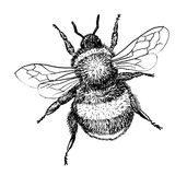 Bumblebee insect hand draw illustration Stock Image