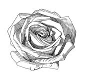 Hand draw sketch rose Stock Photo
