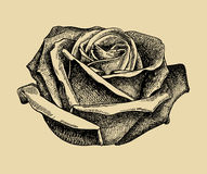 Hand draw sketch rose Stock Photography