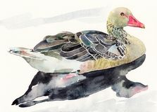 Hand draw watercolor bird, ducked Royalty Free Stock Photos