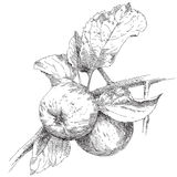 Hand drawing apple on branch. Hand drawing apple on apple tree branch Stock Image