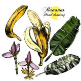 Hand drawing bananas. Flowers, fruit and leaves on Stock Photos