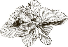 Hand drawing begonia flowers Royalty Free Stock Photography