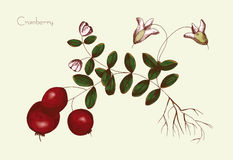 Hand drawing of a cranberry Royalty Free Stock Photo