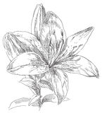 Hand drawing flower Royalty Free Stock Images