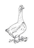 Hand drawing goose Stock Image