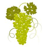 Hand-drawing grapes with leaves vector Stock Photos