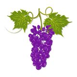 Hand-drawing grapes with leaves vector Stock Image
