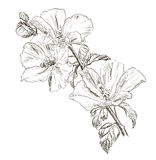 Hand drawing Hibiscus flower Royalty Free Stock Photo