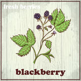 Hand drawing illustration of blackberry. Fresh berries sketch background Royalty Free Stock Images