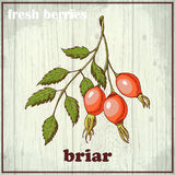 Hand drawing illustration of briar. Fresh berries sketch background Royalty Free Stock Images