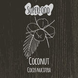 Hand drawing illustration of coconut. Cocos Royalty Free Stock Photo