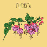 Hand drawing illustration of fuchsia Royalty Free Stock Image