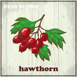 Hand drawing illustration of hawthorn. Fresh berries sketch background Royalty Free Stock Image