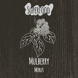 Hand drawing illustration of mulberry. Morus Stock Photo