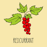 Hand drawing illustration of redcurrant Stock Photos