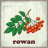 Hand drawing illustration of rowan. Fresh berries sketch background Royalty Free Stock Photo