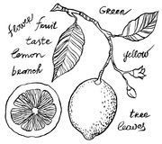 Hand drawing lemon Stock Images