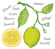 Hand drawing lemon Royalty Free Stock Images