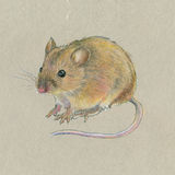 Hand-drawing. Mouse on gray background. Stock Images