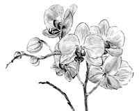 Hand drawing orchid flowers. Illustration of orchids in shades of gray. Imitation of watercolor Royalty Free Stock Photo