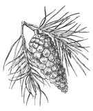 Hand drawing pine cone on fir branch with needles. Royalty Free Stock Images
