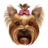 Yorkshire Terrier with pink bow royalty free stock photo
