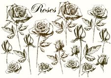 Hand drawing roses on a white background Stock Photography